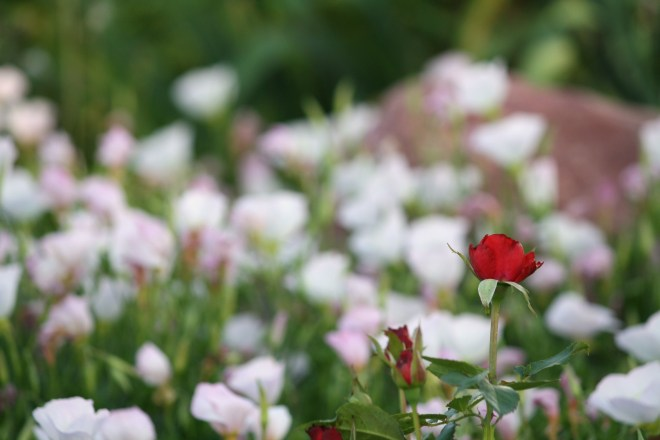 Rose in primrose background